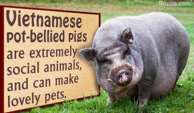 friendly_pig
